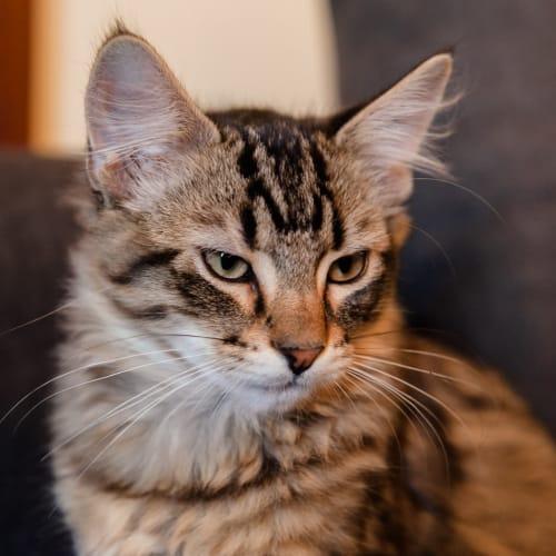 Bert - Domestic Medium Hair Cat