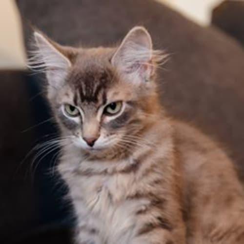 Boy - Domestic Medium Hair Cat