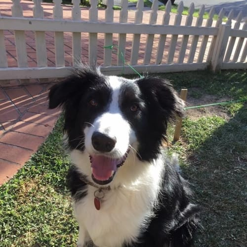 Kobi - Border Collie Dog