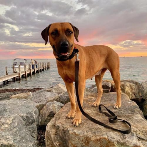 Meg (Manari) - Rhodesian Ridgeback x Mixed Breed Dog