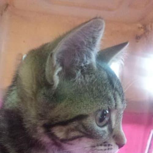 Brandy - Domestic Short Hair Cat