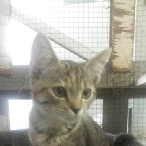 Sherry - Domestic Short Hair Cat