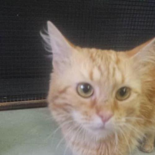 Stanley - Domestic Medium Hair Cat