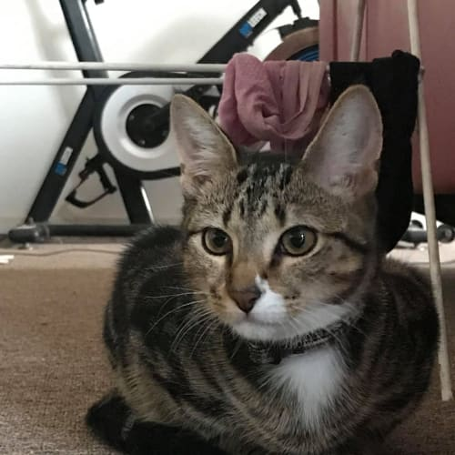Joey (Located in Rye) - Domestic Short Hair Cat