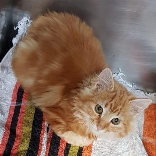 Bellatrix - Domestic Long Hair Cat