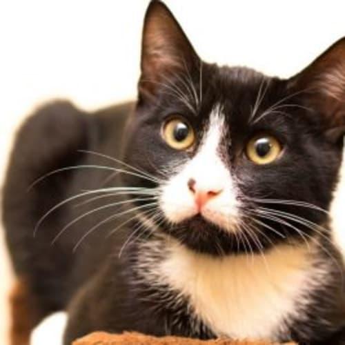 Jaws - Domestic Short Hair Cat