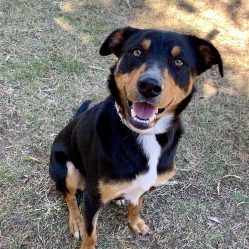 Roscoe - Kelpie Dog