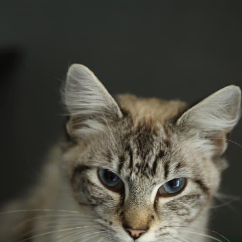 Matilda - Domestic Medium Hair Cat