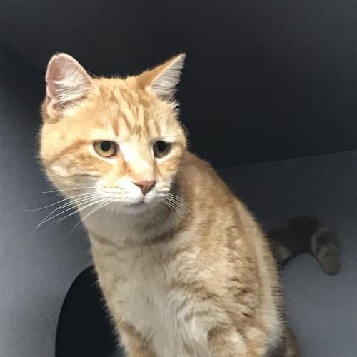 Boyd - Domestic Short Hair Cat
