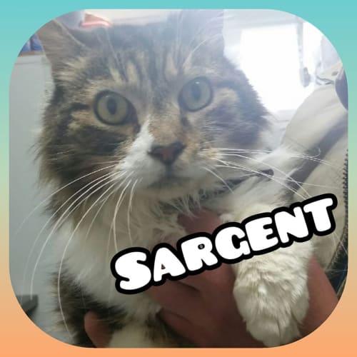 Sargent - Domestic Long Hair Cat