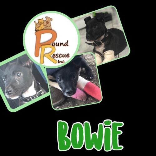 Bowie - Staffy Dog