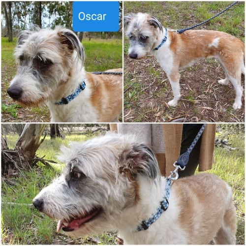Oscar - Wolfhound Dog