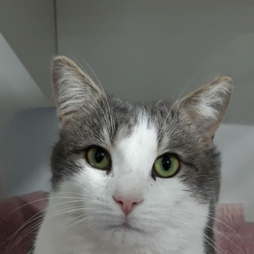 Mikey - Domestic Short Hair Cat