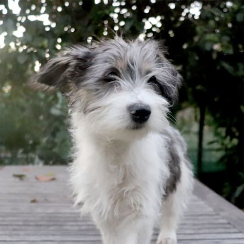 Bronson - Maltese Dog