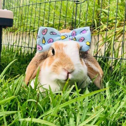 Freya - Lop Eared Rabbit