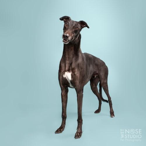 Safford - Greyhound Dog
