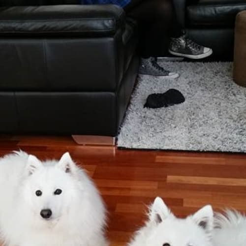 Yuki and Ghost - Spitz Dog