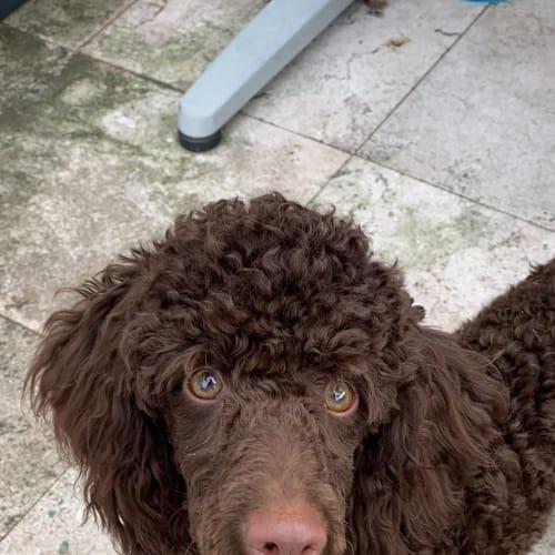 Coco amazing poodle pup - Poodle Dog