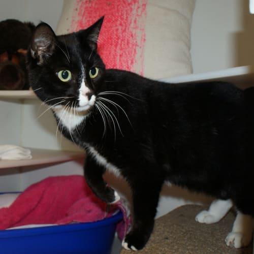Matilda SUA004214 - Domestic Short Hair Cat