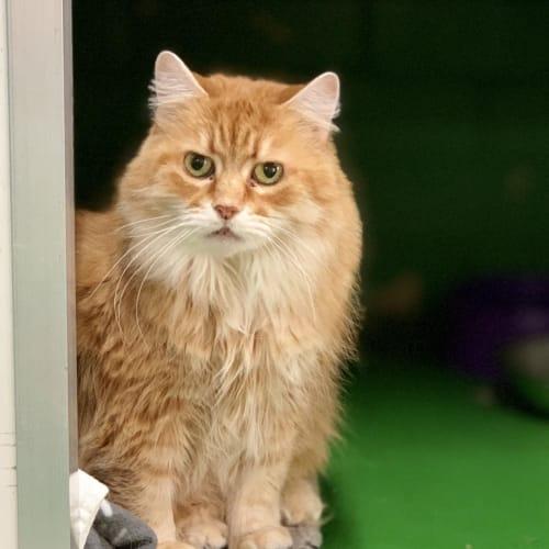 Tonka ID41415 - Domestic Medium Hair Cat