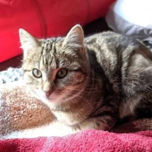 Emily  919919 - Domestic Short Hair Cat