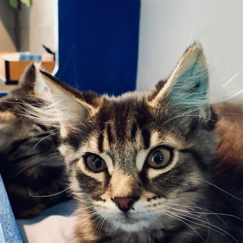 Michael - Domestic Medium Hair Cat