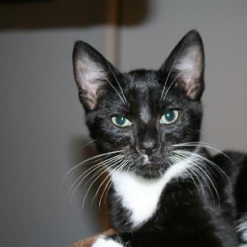 Beatle - Dsh Cat