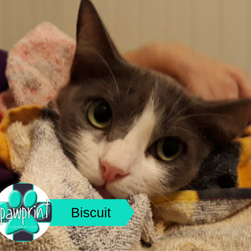 Biscuit - Domestic Short Hair Cat