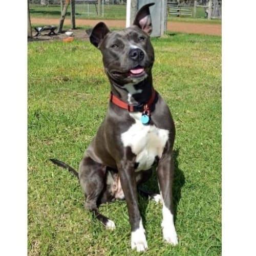 Springfield - American Staffordshire Bull Terrier Dog