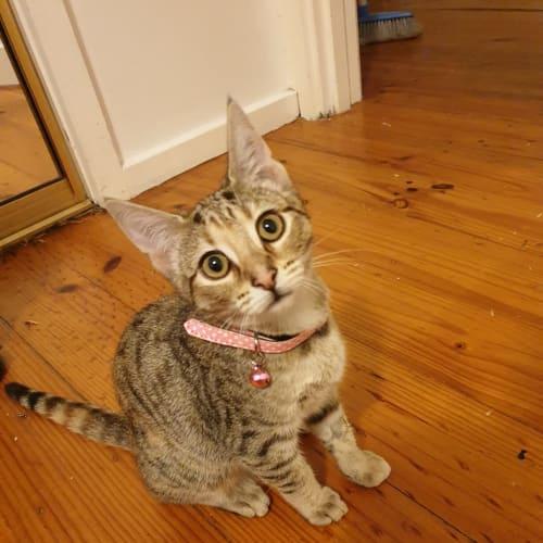 Bella - Domestic Short Hair Cat