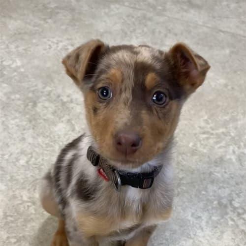Thembi - Kelpie Dog