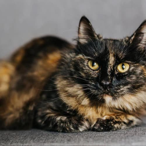 1346 - Sadie Mae Meowington - Domestic Medium Hair Cat