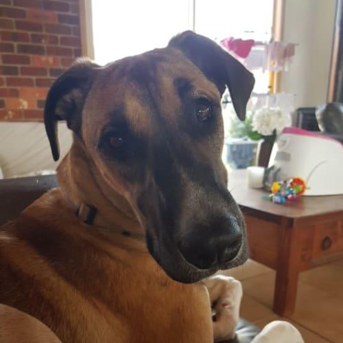 Sarabi - Great Dane Dog