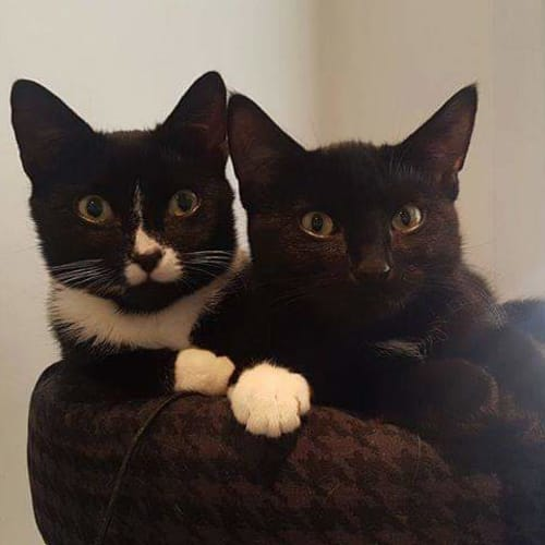 Jules & Pepper - Domestic Short Hair Cat