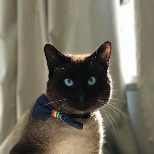 Arthur - Siamese x Tonkinese Cat