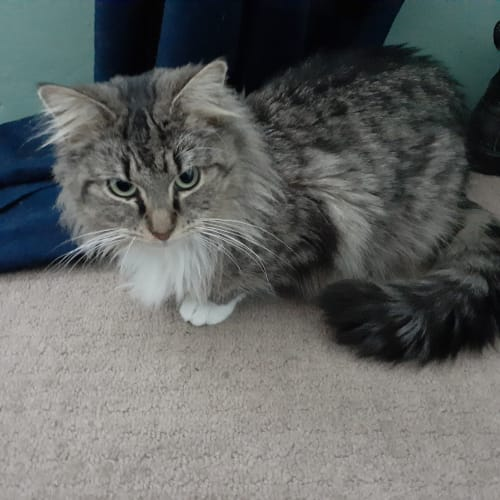 Maddie - Domestic Long Hair Cat
