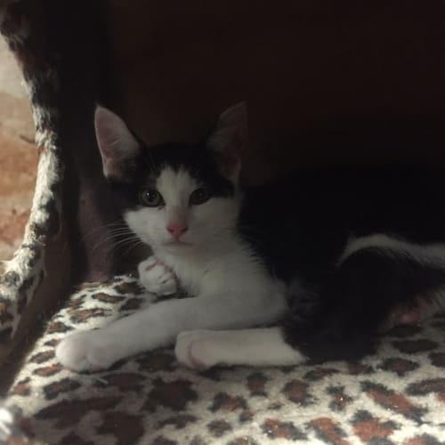 Bert - Domestic Short Hair Cat