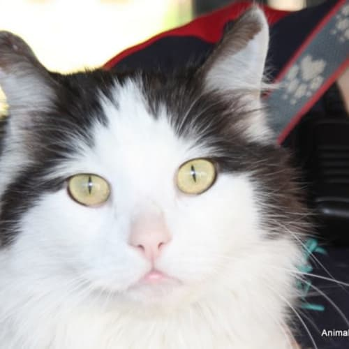 Camelot - Domestic Short Hair Cat