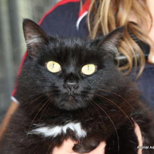 Penolope - Domestic Short Hair Cat