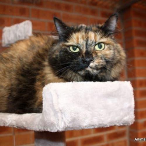 Maisy - Domestic Long Hair Cat