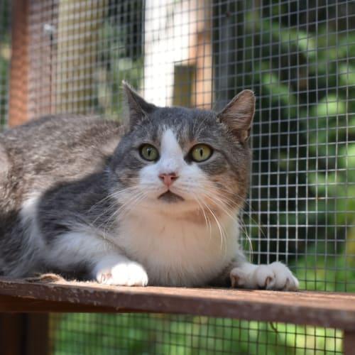 Birtles - Domestic Short Hair Cat