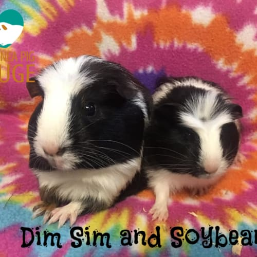 Dim Sim and Soybean - Crested x Smooth Hair Guinea Pig
