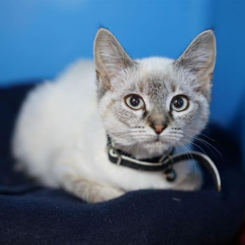 Symphony - Layanese Cat
