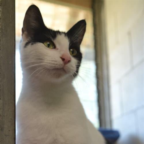 Mini - Domestic Short Hair Cat