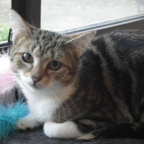 Sweetie - Domestic Short Hair Cat