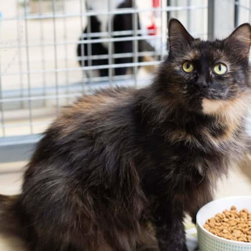 Lanna - Domestic Long Hair Cat