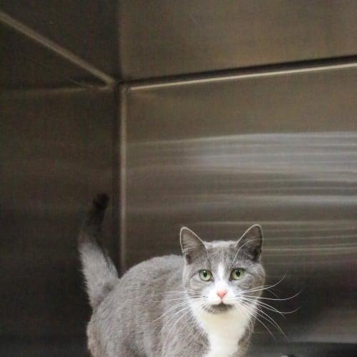 Chelsea - Domestic Short Hair Cat