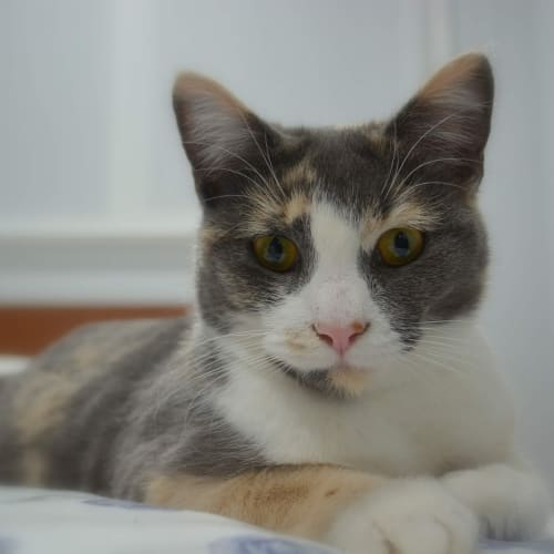 Noodle - Domestic Short Hair Cat