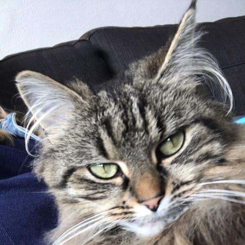 Pishka - Domestic Medium Hair Cat