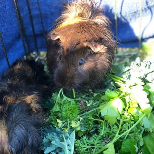 Brownie - Guinea Pig